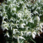 Snowdrops to Bluebells