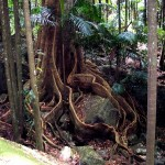 Australia Rainforest Buttress Roots