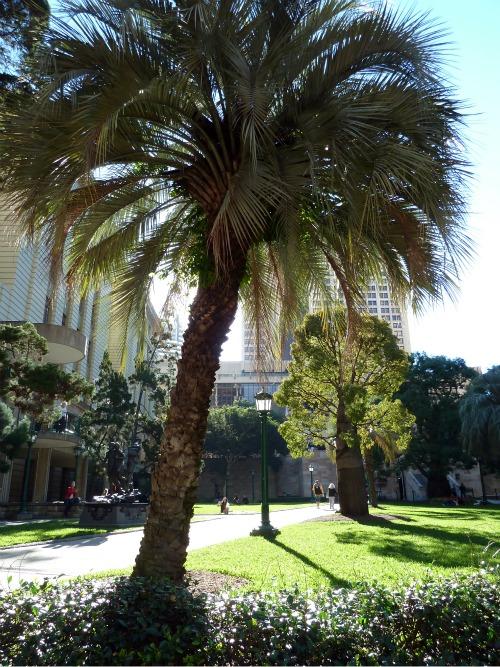 Date palm tree in Brisbane