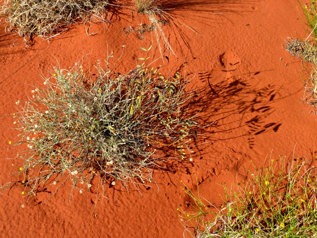 central australia plant life