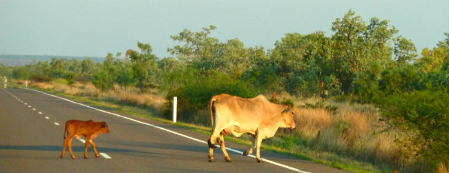 Cattle Queensland