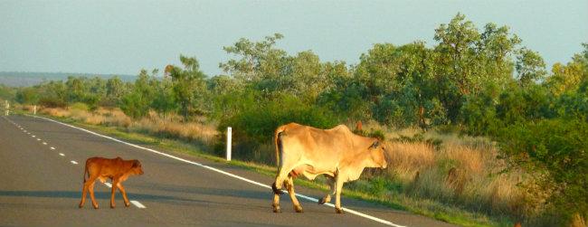 Cattle Queensland