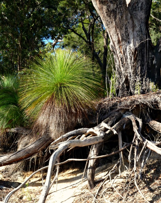 Grasstree