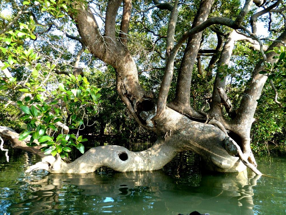 Mangroves Moreton Bay