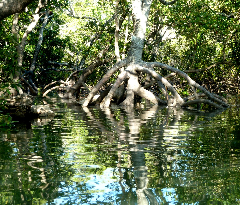 mangrove australia