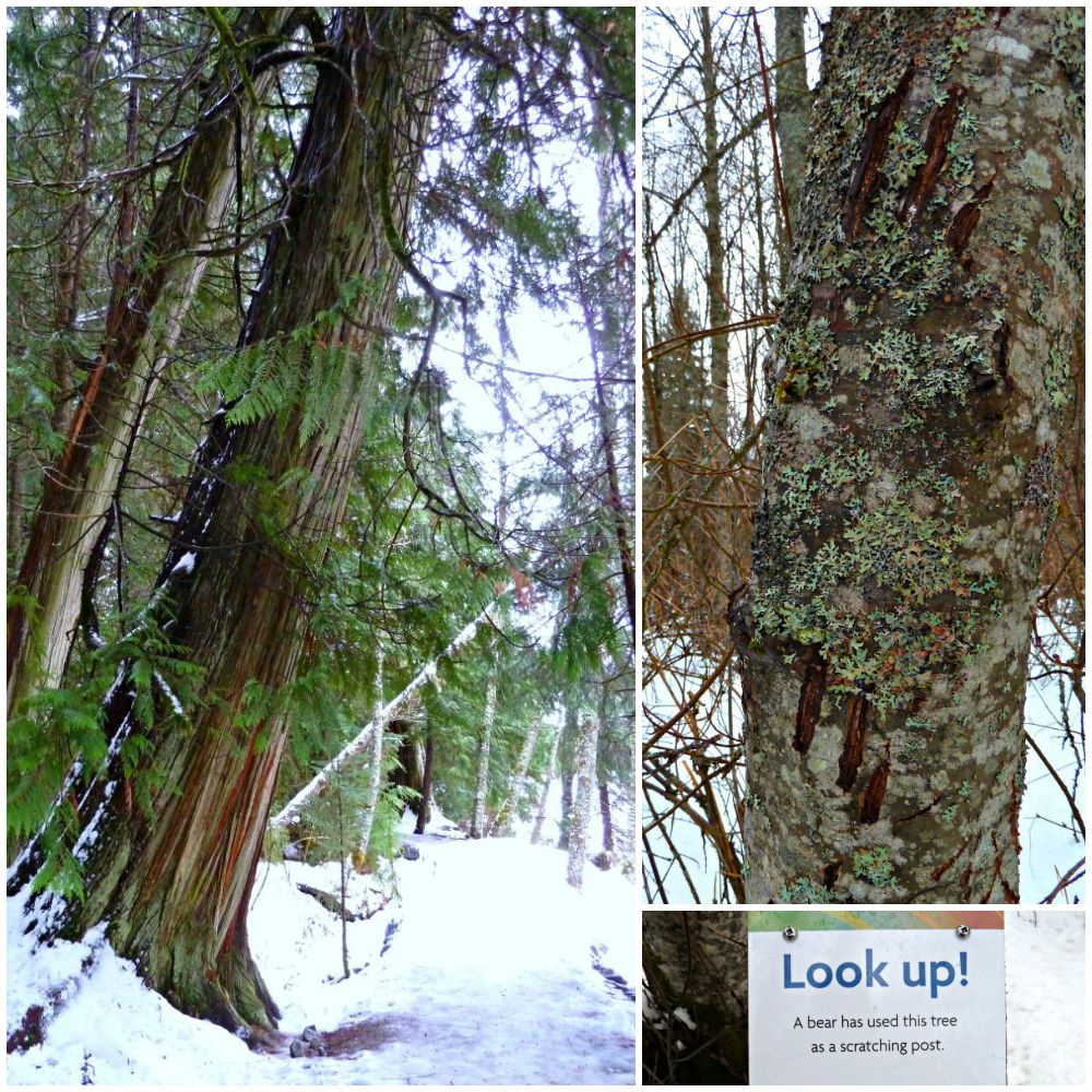 A sign in the woods telling me to look up and see bear claw marks in the bark of the tree I am standing beside